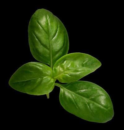 Basilikum